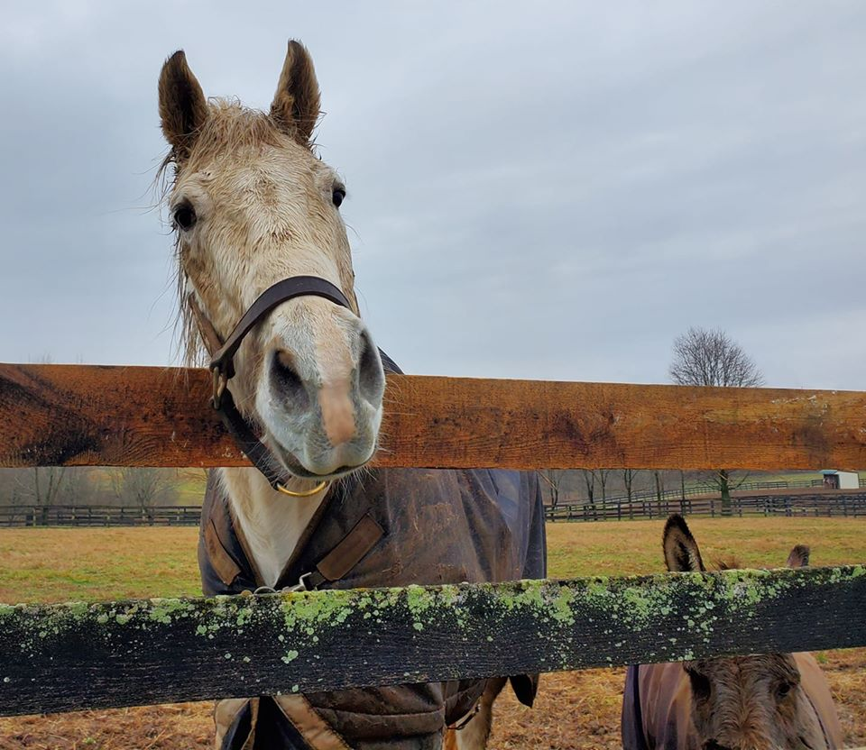 Retired racehorse at Old Friends Farm in Georgetown Kentucky